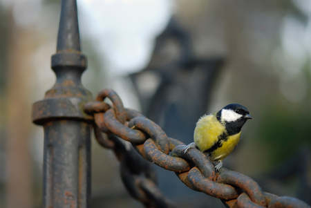 Great tit perching on an old rusty chain in autumn