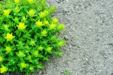 Cushion spurge (Euphorbia polychroma) green leaves in spring.