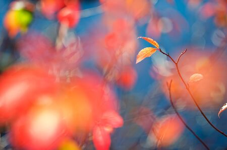 Siberian dogwood (Cornus alba) branch and leaves against autumn colored background. Selective focus and shallow depth of field.