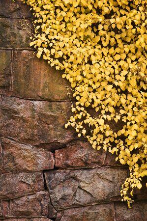 Climbing hydrangea (Hydrangea petiolaris) in autumn colors against old stone wall. Banco de Imagens