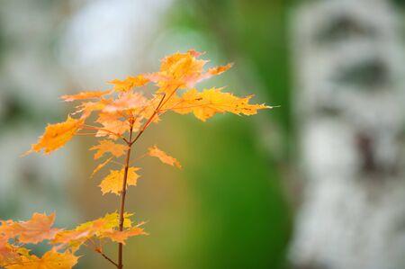 Maple in autumn colors Banco de Imagens