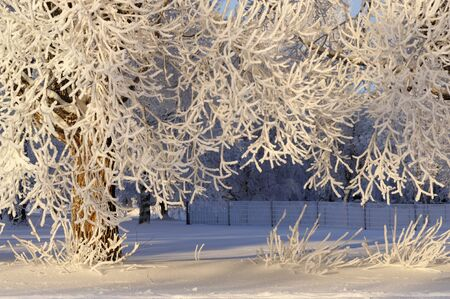 Frost covered crack willow (Salix fragilis) branches lit by the low angle sun.