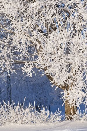 Frost covered crack willow (Salix fragilis) branches.