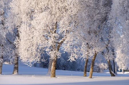 Snow and frost covered trees lit by the low angle sun.