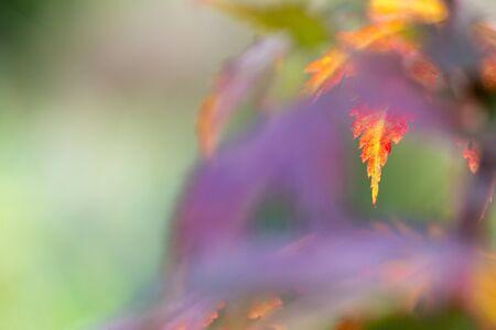 Korean maple (Acer pseudosieboldianum) leaves in autumn colors Banco de Imagens