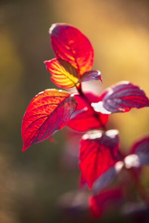 Autumn leaves of Siberian dogwood or Cornus alba in sunlight with bokeh background, selective focus, shallow DOF Фото со стока