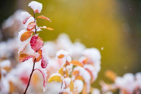 Birchleaf spirea, Spiraea betulifolia, leaves covered with fresh snow, late autumn snowfall in the garden Banco de Imagens