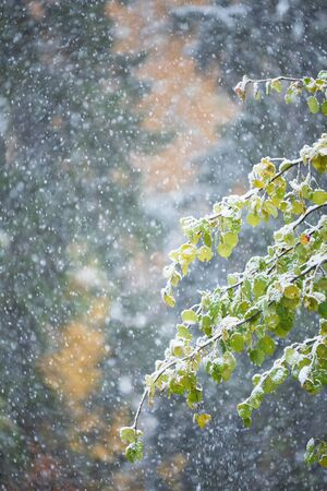 Autumn leaves of aspen tree (Populus tremula 'Erecta') covered with snow, blurred background with snowfall