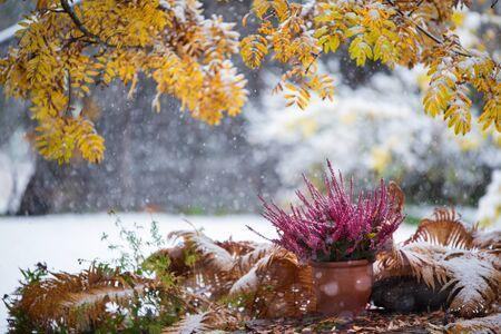 Purple heather, Calluna vulgaris, in flower pot among withered ostrich fern under yellow rowan leaves, winter snowfall in the garden