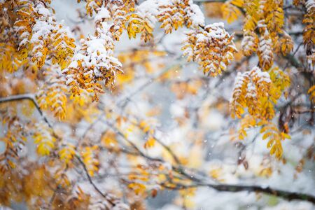 Rowan tree (Sorbus aucuparia) branches and yellow leaves covered with fresh snow in late autumn