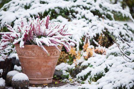 Common heather, Calluna vulgaris, in flower pot covered with snow, evergreen juniper in the background, snowy garden in winter Banco de Imagens