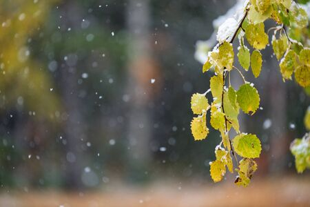 Autumn leaves of aspen tree (Populus tremula 'Erecta') covered with snow, blurred background with snowfall Banco de Imagens