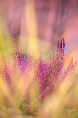Common heather, Calluna vulgaris, in full bloom, selective focus and shallow DOF, colors in autumn garden