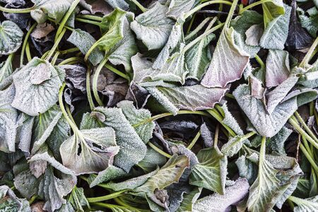 Frost covered leaves of bergenia (Bergenia cordifolia) in a cold late autumn day