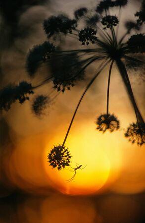 Tetragnatha spider on Angelica at sunset