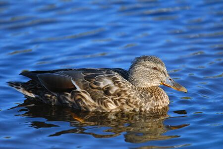 Mallard duck (female) swimming on blue water