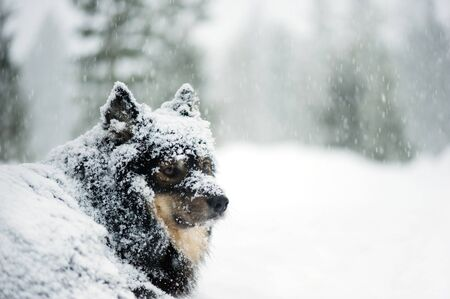 Finnish Lapphund in snowfall in winter landscape. Selective focus and shallow depth of field. Banco de Imagens