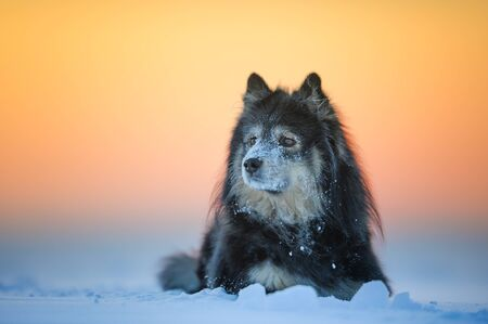Dog portrait, Finnish Lapphund in snow. Banco de Imagens