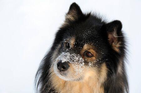 Dog portrait, Finnish Lapphund.