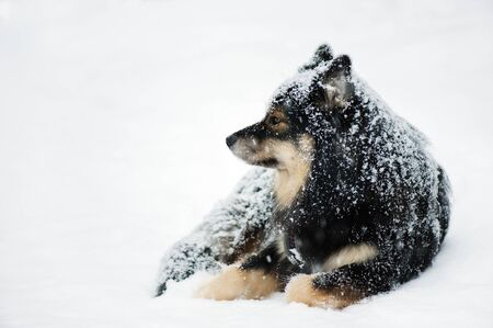Finnish Lapphund resting in  winter snow. Selective focus and shallow depth of field.