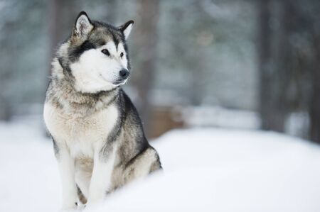 Portrait of Alaskan Malamute sitting in snow. Selective focus and shallow depth of field.