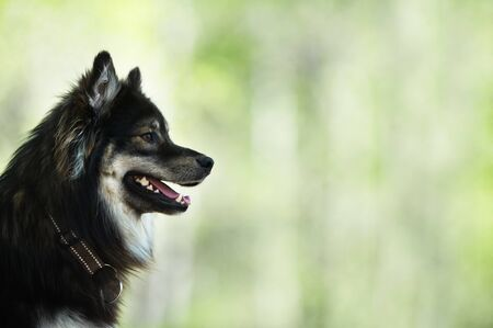 Portrait of a Finnish Lapphund. Selective focus and shallow depth of field. Banco de Imagens