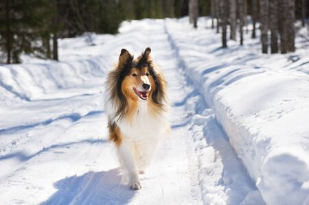 Rough collie running in the snow.