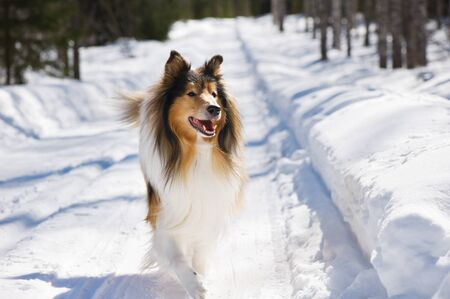 Rough collie running in the snow. Banque d'images - 132558131