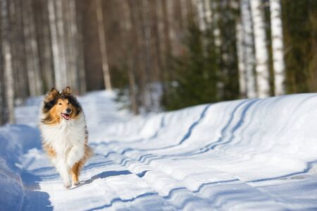 Rough collie running in the snow. Banque d'images - 132558404