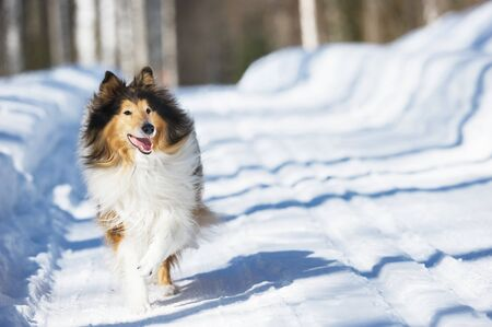 Rough collie running in the snow. Banque d'images - 132558350