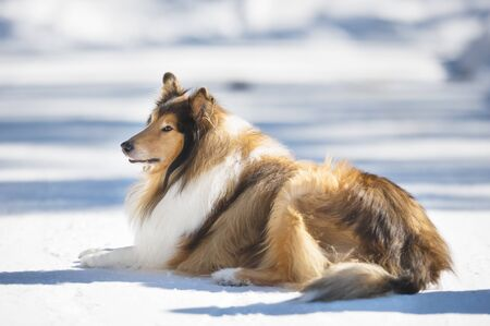 Rough Collie lying down in snow. Banque d'images - 132559557