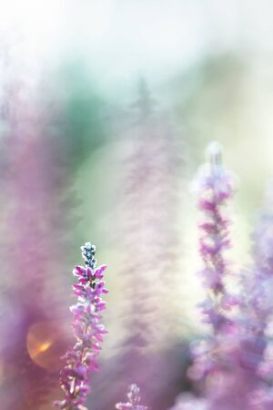 Winter background with frosted heather flowers, snow and ice crystals glittering in sunlight 스톡 콘텐츠