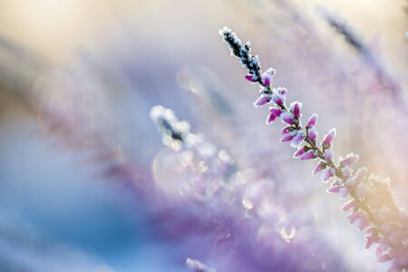 Winter background with frosted heather flowers, snow and ice crystals glittering in sunlight
