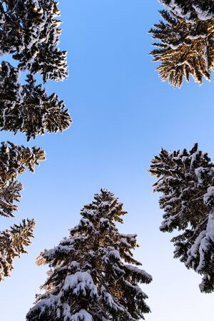 Winter forest, tall spruce trees (Picea abies) covered with snow against clear blue sky