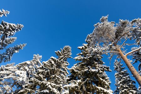 Winter forest, tall spruce and pine trees covered with snow against clear blue sky
