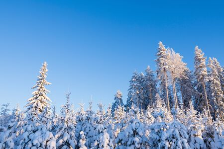 Winter forest covered with snow, reforested area with younger spruce trees in the foreground Stock Photo
