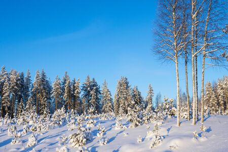 Clearcut forest in winter covered with snow, reforested area with pine tree saplings in the foreground, Finland