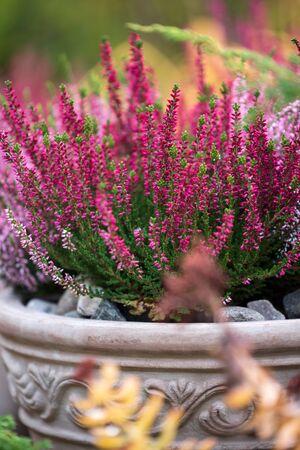 Common heather, Calluna vulgaris, in flower pot, autumn in the garden, selective focus and shallow DOF