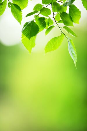 Elm tree (Ulmus sp.) leaves in a forest. Selective focus and shallow depth of field.