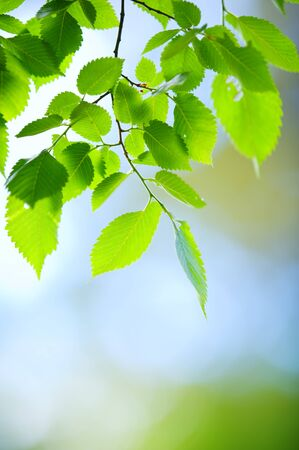 Elm tree (Ulmus laevis) leaves in a forest. Selective focus and shallow depth of field. Banco de Imagens