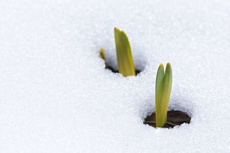 Daffodil leaves emerging through snow in early spring