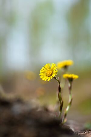 Yellow coltsfoot (Tussilago farfara) flowers in spring. Selective focus and shallow depth of field.