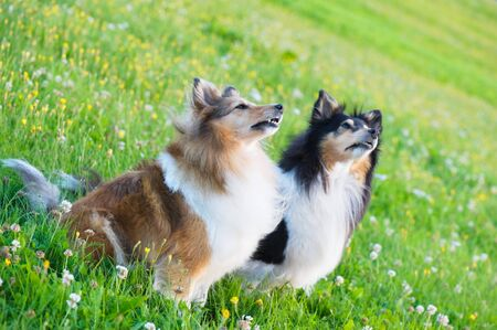 Shetland sheepdogs in the meadow. Selective focus.