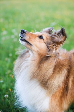 Shetland sheepdog in the meadow.