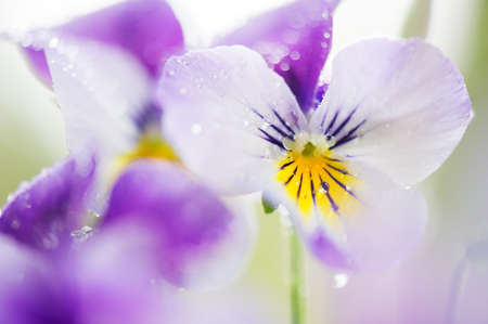 Raindrops on flower petals. Selective focus and shallow depth of field.