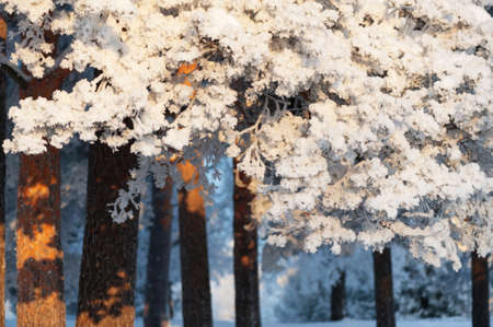 Snow and frost covered pine trees on a cold winter day 版權商用圖片