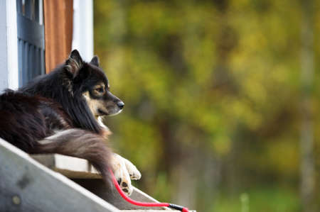 Finnish Lapphund relaxes on the front porch. Selective focus and shallow depth of field.