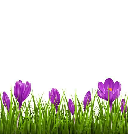 Green grass lawn with violet crocuses isolated on white. Floral nature spring background Ilustração