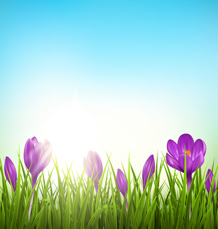 mother day: Green grass lawn with violet crocuses and sunrise on blue sky. Floral nature spring background
