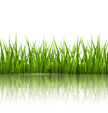 sedge: Green grass lawn with reflection on white. Floral nature spring background Stock Photo